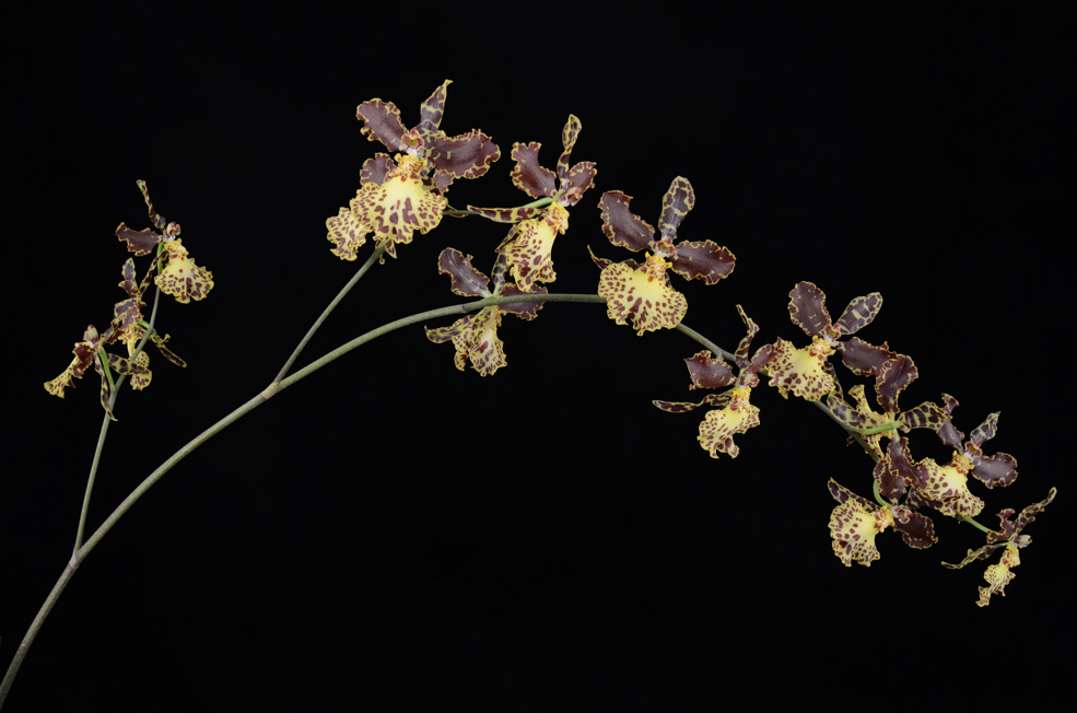 orchid oncidio helicon-1 small.jpg
