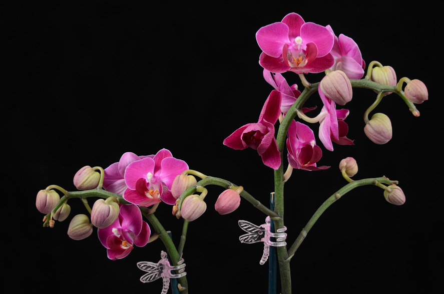 orchid phalaneopsis aphrodite-1 small.jpg