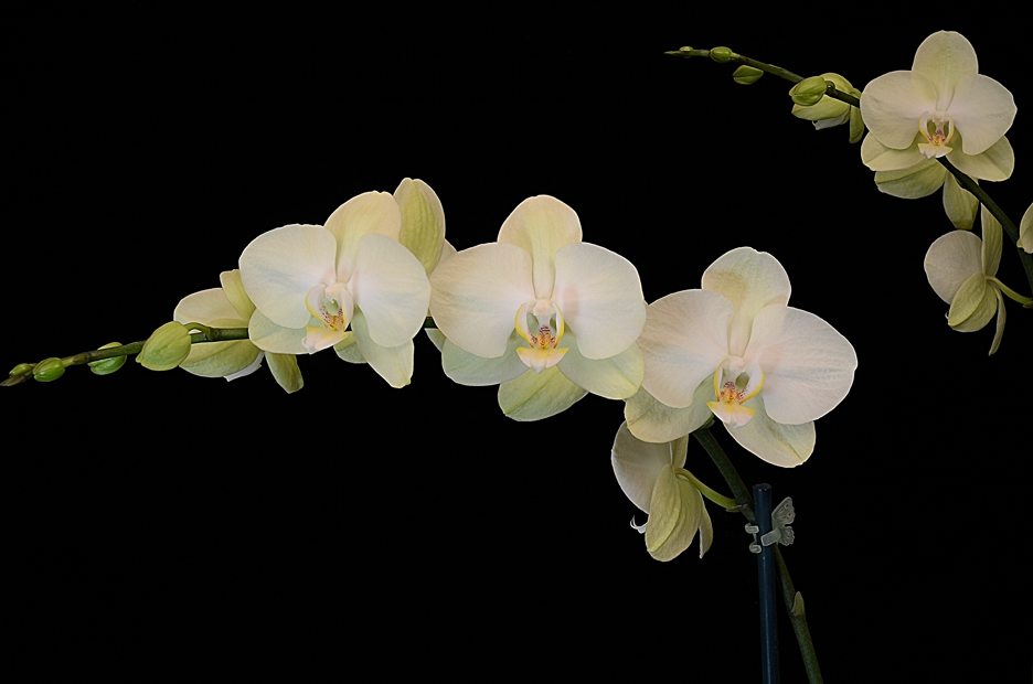 orchid_phalaenopsis aphrodite_ flowers_ helicon focus small.jpg
