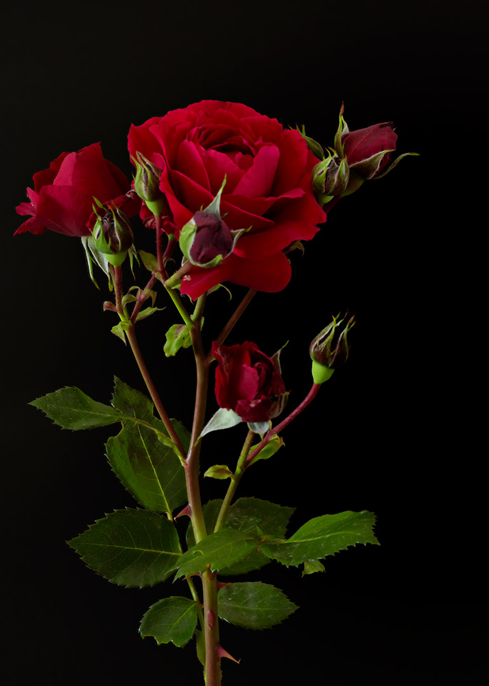 Red-Rose.jpg_Web.jpg